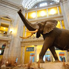 National Museum of Natural History Elephant